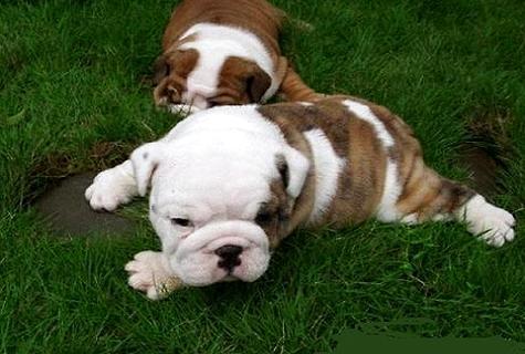 给狗狗打狂犬疫苗有什么样的副作用呢?