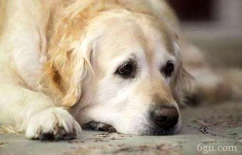 狗狗发烧怎么办?狗狗发烧吃什么药合适?