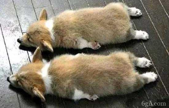 小狗吃多了撑了怎么办
