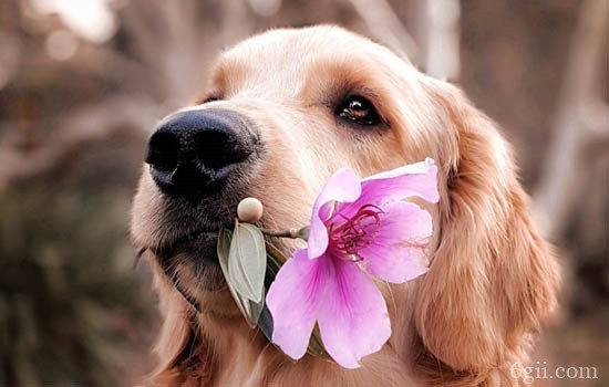 狗狗腹积水多久会死 狗狗腹积水能活多久