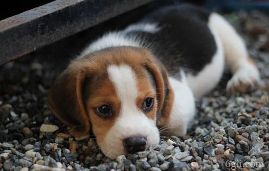 一个月的小狗有狂犬病吗