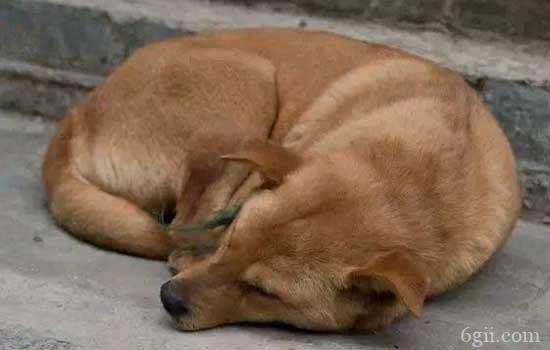 狗狗有弓形虫病有什么症状