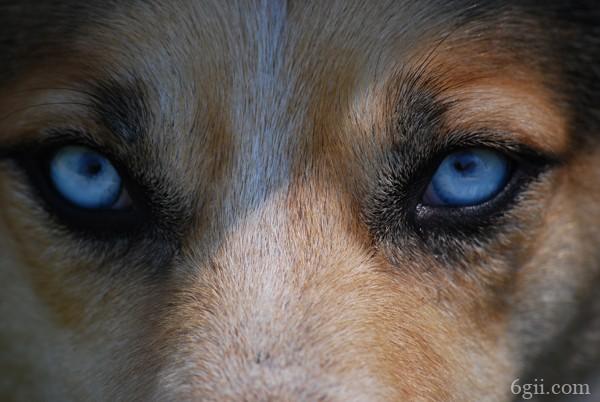小狗眼屎多眼睛红
