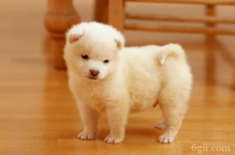 小狗拉白色的便便还吐
