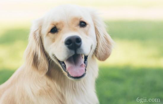 未生育狗狗乳腺炎的症状