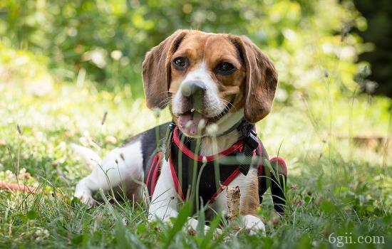 狗狗生殖感染的症状
