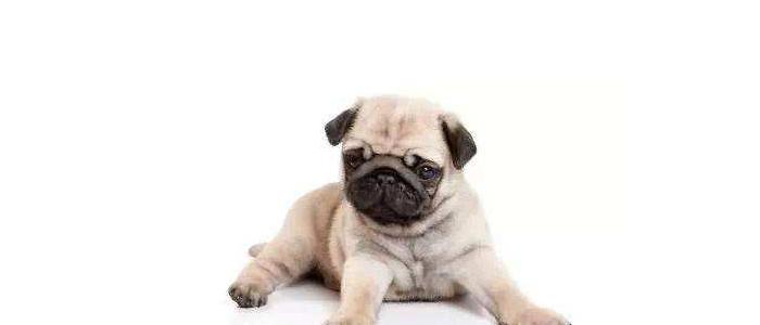 二个月小狗干呕也不吐 可能是异物卡喉!