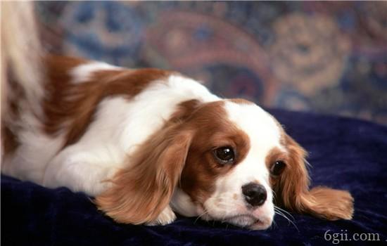 泰迪狗狗有耳螨怎么办 清洗耳朵有方法!