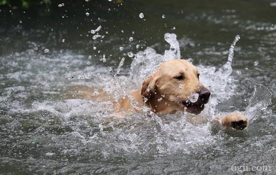 狗狗疱疹病毒症状 狗狗感染疱疹病毒如何预防