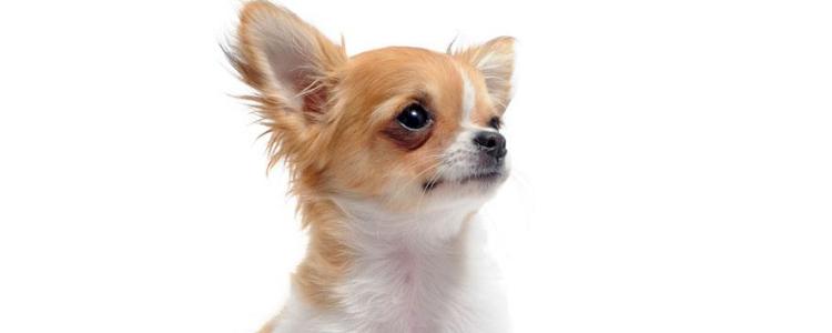 狗狗白内障的症状 如何确认狗狗得了白内障