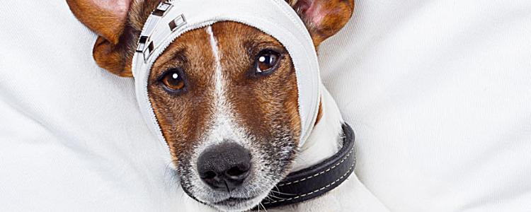 狗狗车祸后肚子水肿怎么办 可能是脾破裂!