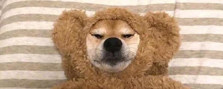 狗狗耳朵肿胀怎么回事 可能是耳血肿!