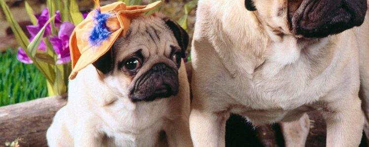 什么是伪狂犬病毒 发病也会致死吗?