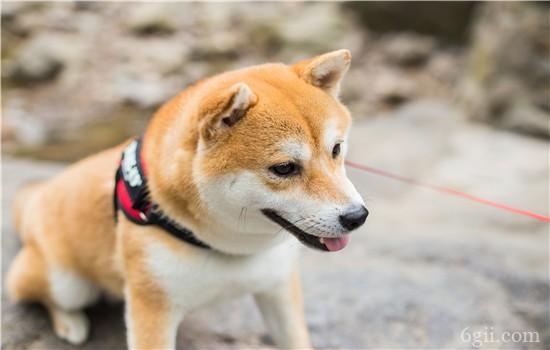 狗会哮喘吗 这些过敏原都可能导致狗狗哮喘哦!
