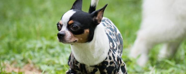 秋季狗狗干咳嗽是什么原因 是犬窝咳吗?