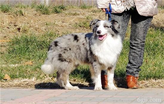 狗狗脑膜炎的症状 狗狗脑膜炎该怎么治疗?