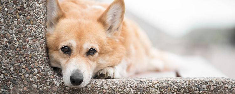 狗吃夏威夷果一定会中毒吗 别让狗狗去以身试险!