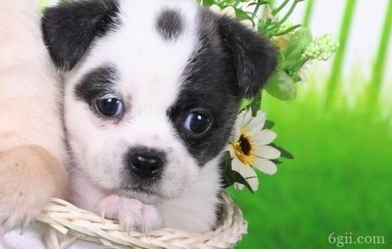 狗狗胃炎的症状 如何预防狗狗胃炎 你知道吗