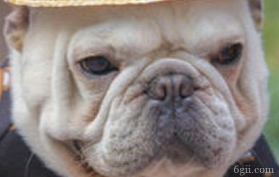 狗狗细小治疗中吐褐色 狗狗细小愈后该如何预防