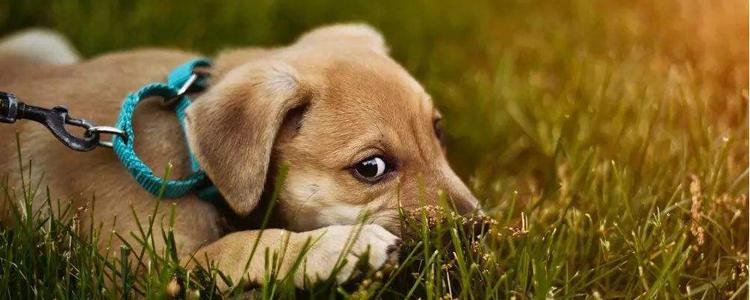 狗狗蠕形螨怎么治疗 需要剃毛吗?