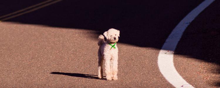 泰迪狗尾巴什么时候剪 注意避免感染!
