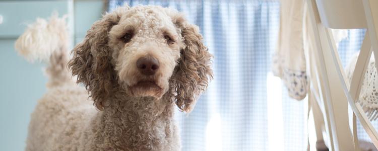 狗会不会感染鼠疫 有什么症状?