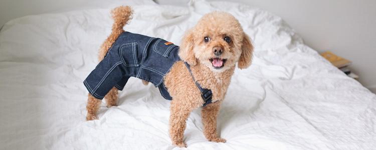 泰迪狗得了胃肠道怎么办 你的喂养方式存在很大问题!