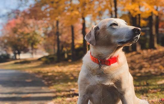 如何训练狗狗保护主人 忠心狗狗如何养成
