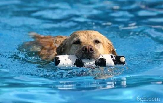怎么训练狗狗游泳 夏日解暑有方法
