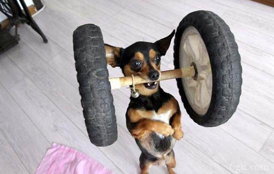 斗牛犬怎么训练肌肉 你家斗牛犬体型合格吗