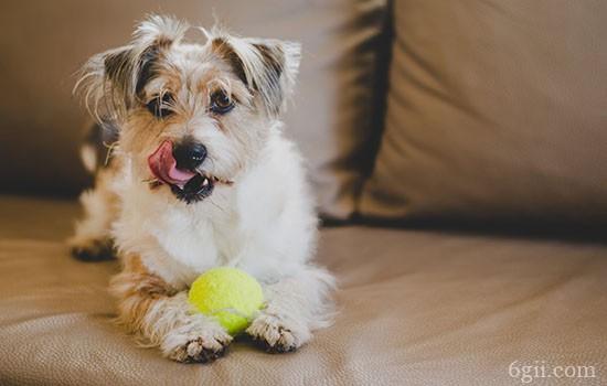 怎么训练狗狗捡球 狗狗技能训练教程