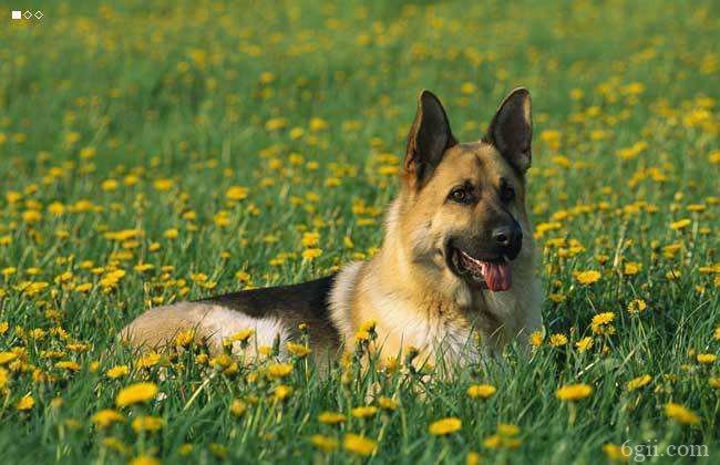 德国牧羊犬有什么特点 这么好的德牧被禁养太可惜!
