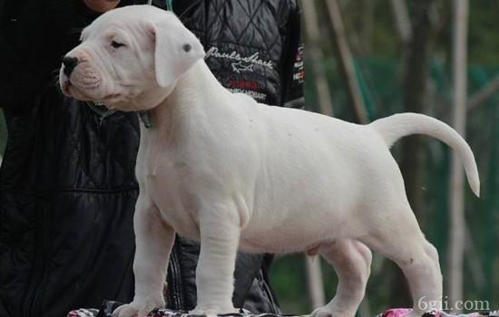杜高犬怎么训练 猎犬不好训练?错!
