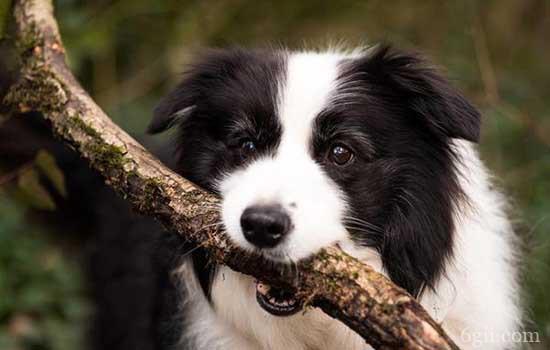 怎么训练狗狗衔取物品 傻瓜也会的训练方法