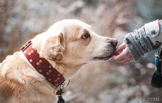 训练拉布拉多小技巧 会这些技巧没有教不会的狗