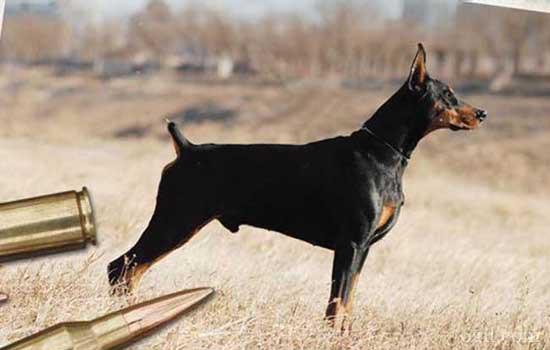 世界军犬排名 全世界军队最威猛的七大军犬