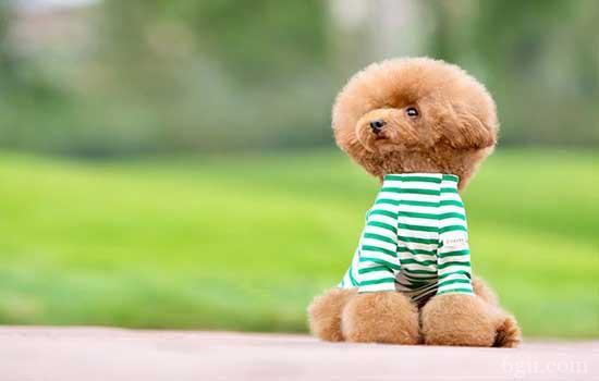 泰迪日常训练方法 训练泰迪作揖要在基础动作后