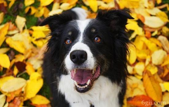 智商前十名的狗 你家狗狗上榜了吗