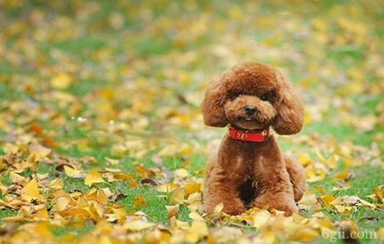 泰迪犬训练教程 教你掌握最佳训练时间与技巧