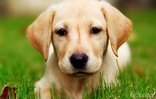 狗狗总是叫怎么训练 让狗狗听你指令叫或停