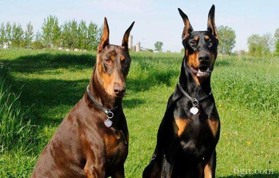 怎么训练狗狗追踪 你家狗狗也可以成为侦探