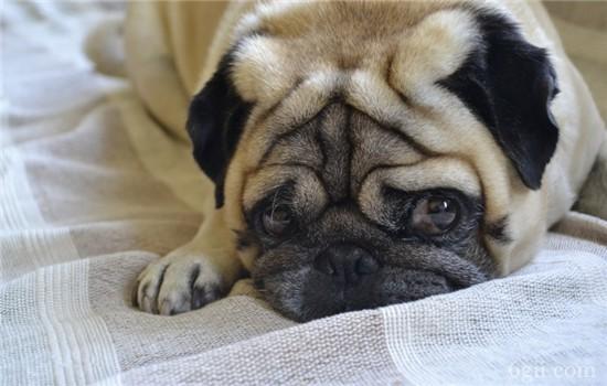 狗狗喜欢叫怎么办 如何训练狗狗不乱吠叫