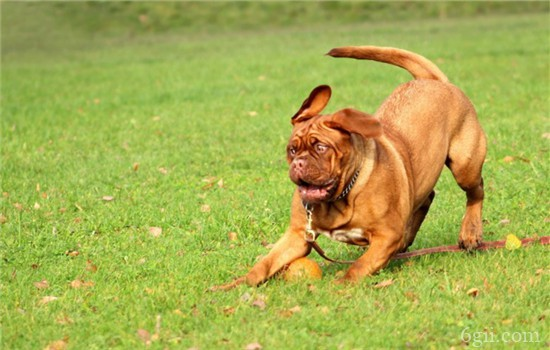 狗狗爱乱吃怎么办 如何训练狗狗不乱吃东西