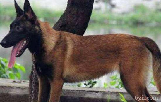 马犬的动力训练 想要训练马犬建立基本信任最关键了!