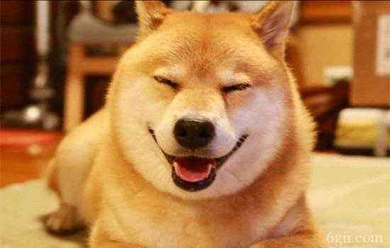 柴犬是不是服从性不好 是你训练方法不对而已