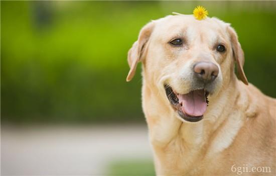 狗喜欢扑人陌生人怎么办 狗扑人一定要及时纠正!