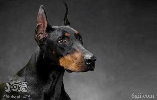 杜宾吃什么狗粮 教你杜宾犬的饲养管理