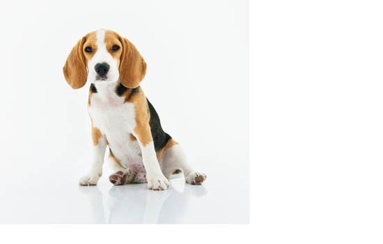 狗一激动就尿怎么办 狗狗一激动就漏尿是怎么回事