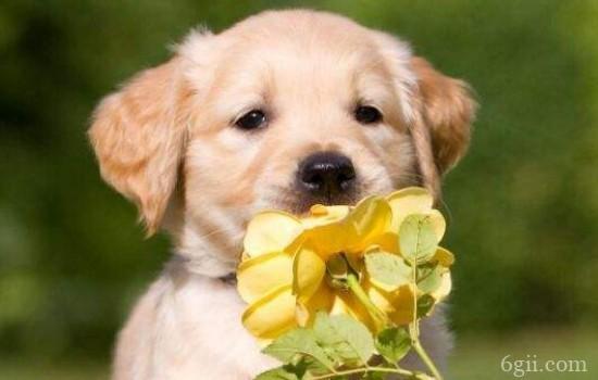 金毛狗狗训练技巧大全 金毛训练的正确方法