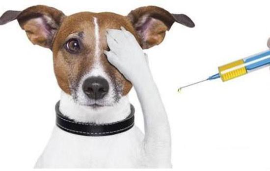 犬疫苗在什么情况下失效 打了真疫苗也可能失效!